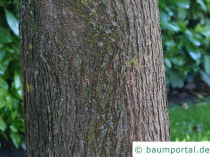 rotblättriger Catalpa (Catalpa erubescens 'Purpurea') Stamm / Rinde / Borke