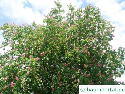 rotblühende Kastanie (Aesculus carnea) Blüten