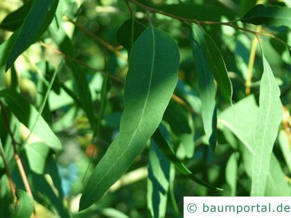 roter Eukalyptus (Eucalyptus camaldulensis) Blatt