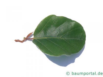 rundblättrige Buche (Fagus sylvatica 'Rotundifolia') Blatt