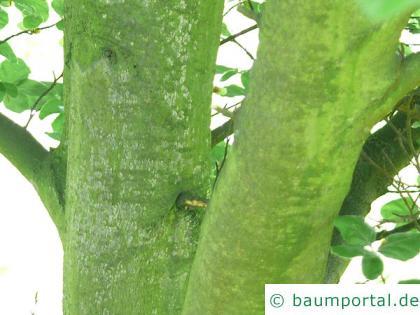 rundblättrige Buche (Fagus sylvatica 'Rotundifolia') Stamm / Rinde / Borke