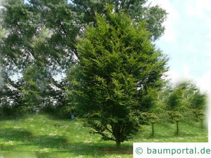 rundblättrige Buche (Fagus sylvatica 'Rotundifolia') Baum im Sommer