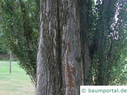 italienische Säulenpappel (Populus nigra 'Italica') Stamm / Borke / Rinde