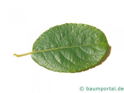 Sal-Weide (Salix caprea) Blatt