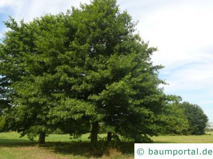 Scharlach-Eiche (Quercus coccinea) Baum