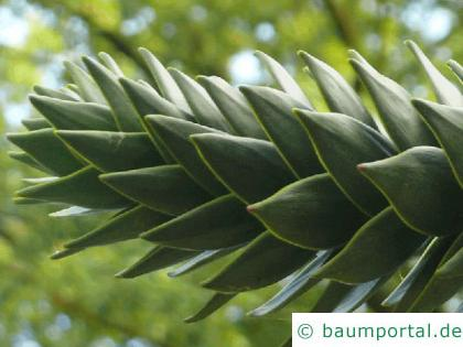 Schmucktanne (Araucaria araucana) Nadel