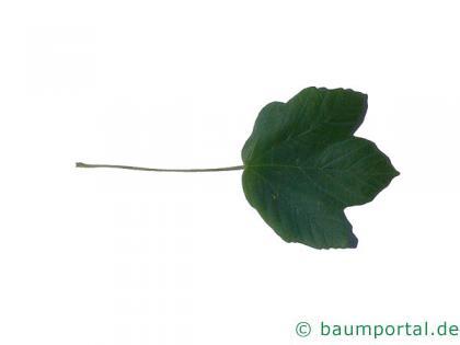 schneeballblättriger Ahorn (Acer opalus) Blatt