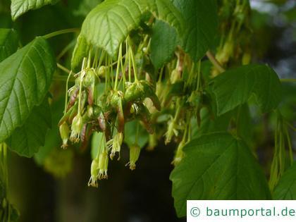 schneeballblättriger Ahorn (Acer opalus) Blüten