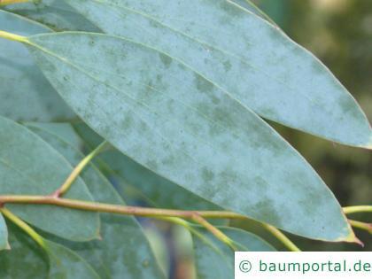 Schnee-Eukalyptus (Eucalyptus pauciflora subsp niphophila) Blatt