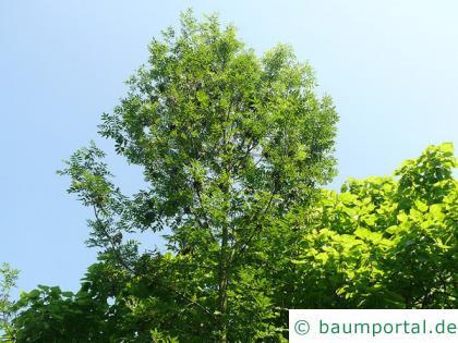 Schwarz-Esche (Fraxinus nigra) Baum