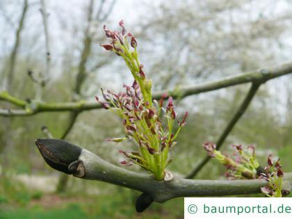 Schwarz-Esche (Fraxinus nigra) Blüte