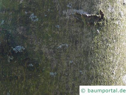 Schwarz-Esche (Fraxinus nigra) Stamm