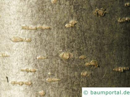 Schwarzerle (Alnus glutinosa) Krone