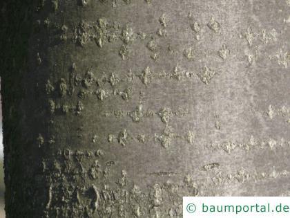 schwedische Mehlbeere (Sorbus intermedia) Stamm / Borke / Rinde
