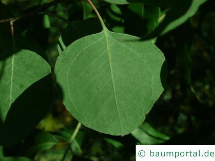Silber-Dollar-Eukalyptus (Eucalyptus polyanthemos) Blatt