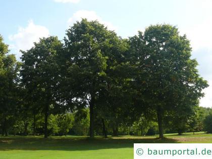Silber-Linde (Tilia tomentosa) Baum