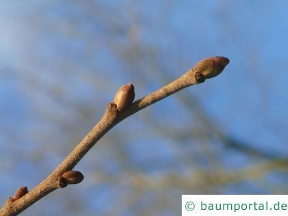 Silber-Linde (Tilia tomentosa) Endknospe