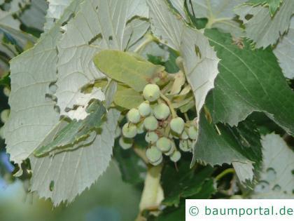 Silber-Linde (Tilia tomentosa) Frucht