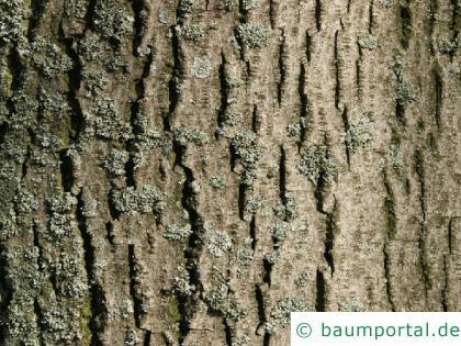 Silber-Linde (Tilia tomentosa) Stamm / Borke / Rinde