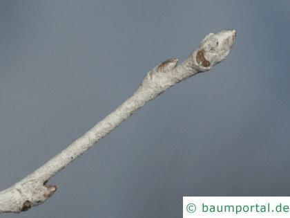 Silber-Pappel (Populus alba) Zweig