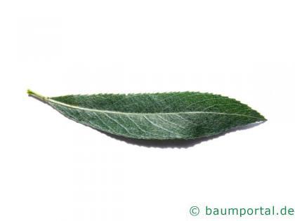Silber-Weide (Salix alba) Blatt
