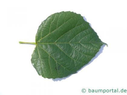 Sommer-Linde (Tilia platyphyllos) Blatt