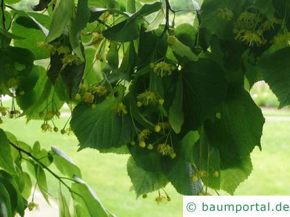 Sommer-Linde (Tilia platyphyllos) Blüte