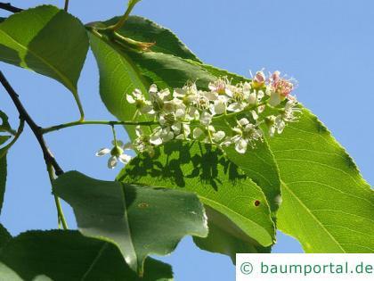 spähtblühende Trauben-Kirsche (Prunus serotina) Blüte