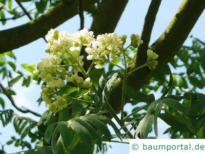 Speierling (Sorbus domestica) Blüte