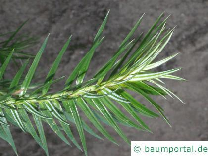 Spießtanne (Cunninghamia lanceolata) Nadeln
