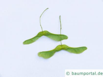 Spitz-Ahorn (Acer platanoides) geflügelte Nüsschen
