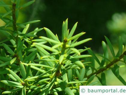 Steineibe (Podocarpus totara) Nadeln