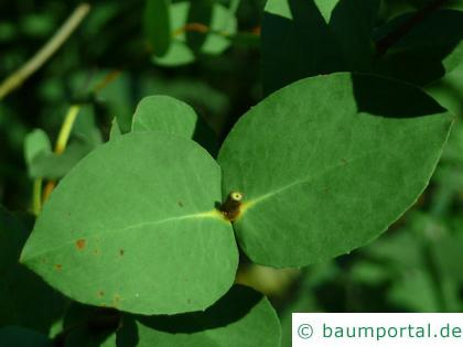 tasmanischer Schneeeukalyptus (Eucalyptus coccifera) Blatt
