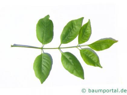 Texas-Esche (Fraxinus texensis) Blatt