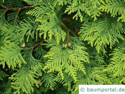 Thuja (Thuja occidentalis) Zweige