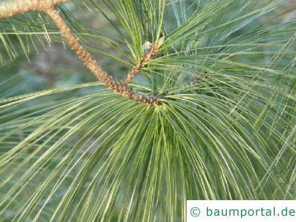 Tränen-Kiefer (Pinus wallichiana) Nadelansatz