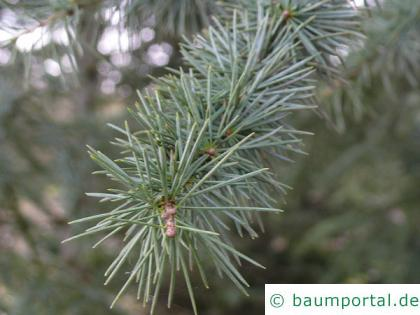 türkische Zeder (Cedrus libani subsp. stenocoma) Nadeln