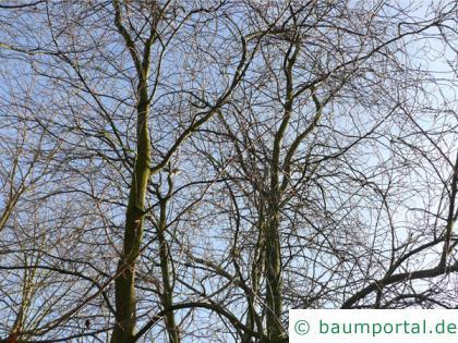 virginische Trauben-Kirsche (Prunus virginiana) Baum im Winter