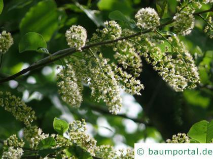 virginische Trauben-Kirsche (Prunus virginiana) Blüten