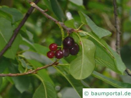 virginische Trauben-Kirsche (Prunus virginiana) Früchte