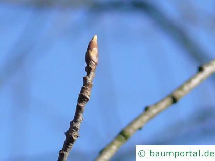 virginische Trauben-Kirsche (Prunus virginiana) Knospe