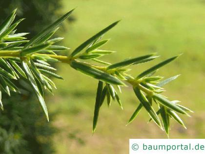Wacholder (Juniperus communis) Nadel