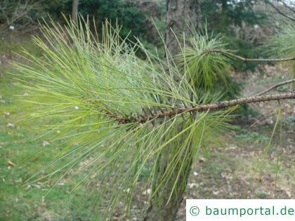 Weihrauch-Kiefer (Pinus taeda) Zweigende