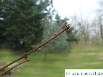 Wein-Ahorn (Acer circinatum) Endknospe