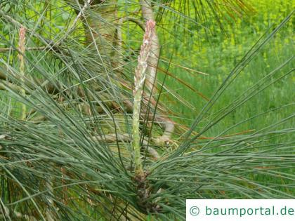 Weiß-Kiefer (Pinus sabiniana) Zweigende