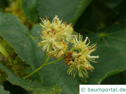 Winter-Linde (Tilia cordata) Blüte