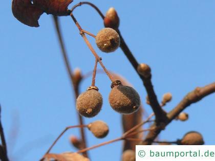 Winter-Linde (Tilia cordata) Frucht