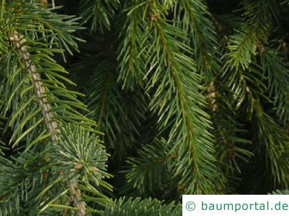 Zapfenfichte (Picea abies 'Acrocona') Nadeln