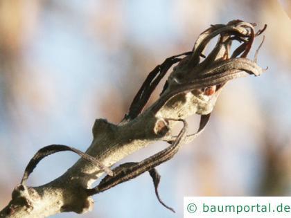 Zerr-Eiche (Quercus cerris) Endknospe