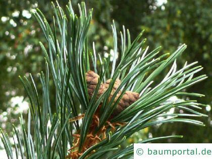 Zirbel-Kiefer (Pinus cembra) Blüte